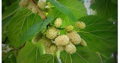 chernitsa, plodove