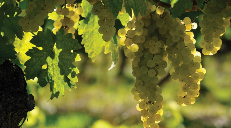 ugni-blanc grozde